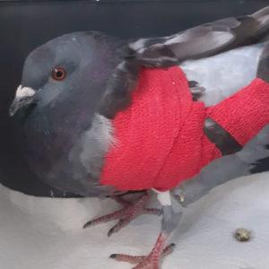 Verletzte Stadttaube der Kölner Taubenhilfe