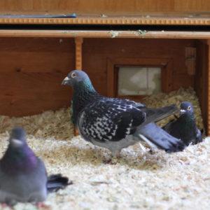 Voliere für behinderte Tauben