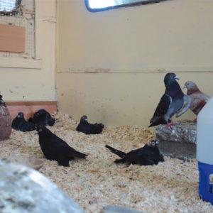 Handicap Tauben