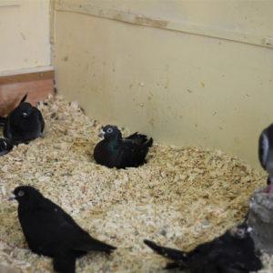 Handicap Tauben der Kölner Taubenhilfe