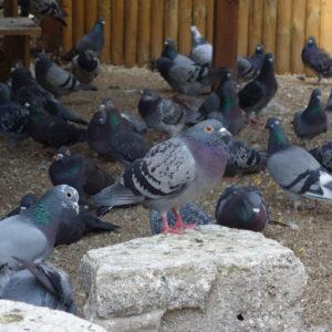 Stadttauben mit PMV bei der Kölner Taubenhilfe