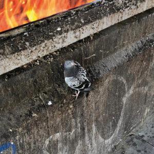Taube gefunden