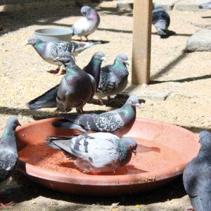 Tauben am baden