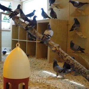Tauben Wohnwagen der Taubenhilfe Köln