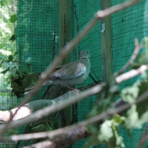 Türkentaube in der Wildtauben-Voliere der Taubenhilfe