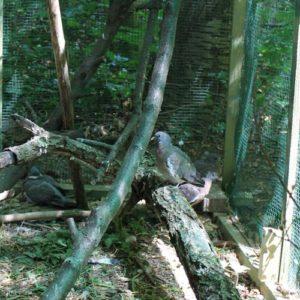 Ringeltauben und Türkentauben in der Wildtauben Voliere