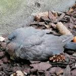Kölner Taubenhilfe rettet Ringeltaube