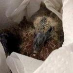 Ringeltaubenbaby durch Taubenhilfe Köln gerettet