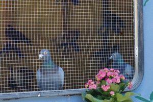 Wohnwagen als Taubenschlag auf dem Lebenshof